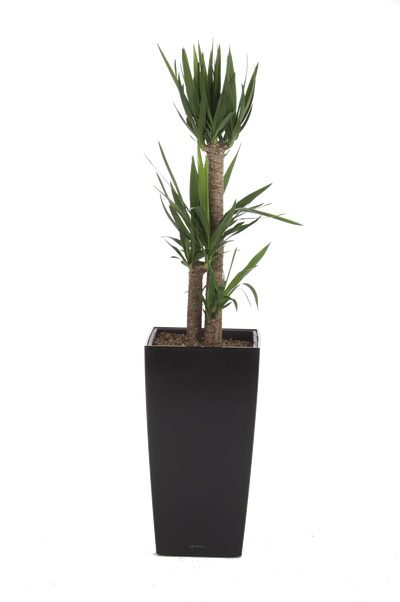 office plants cubico yucca